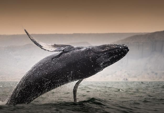 Горбатый кит (megaptera novaeangliae) прыгает через воду в перу
