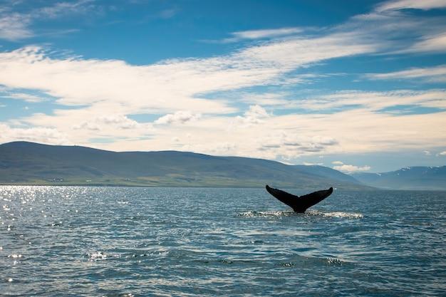 Горбатый кит, megaptera novaeangliae, купание в море в исландии