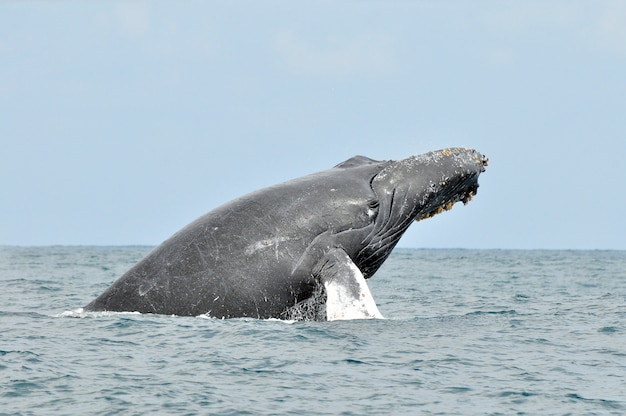 Humpback whale in the sea