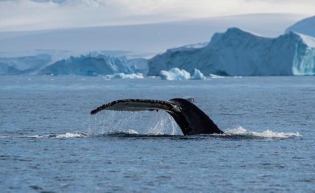 Хвост горбатого кита