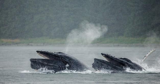 향유 고래가 분수를 내보내고 있습니다. 채텀 해협 지역. 알래스카. 미국.