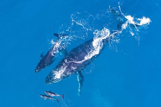 Горбатые киты у побережья капалуа, гавайи