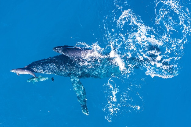 하와이 카팔 루아 해안에서 공중 드론으로 촬영 한 혹등 고래