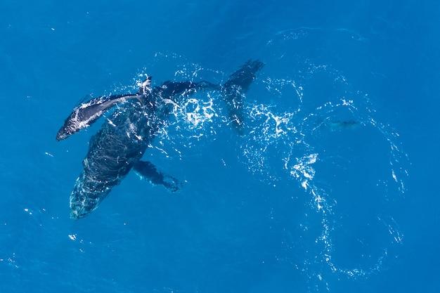 ハワイのカパルア沖で空中ドローンを使って上から撮影したザトウクジラ
