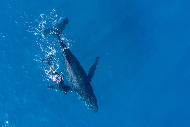 Humpback whales photographed from above with aerial drone off the coast of kapalua, hawaii