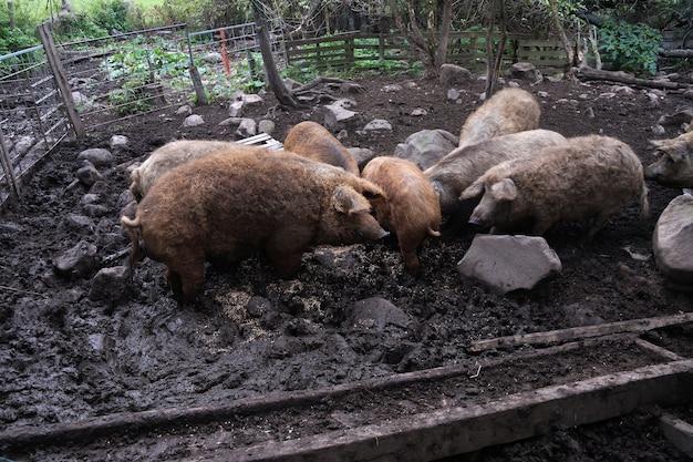 펜에 헝가리어 품종 mangalica 돼지