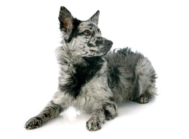 Hungarian dog