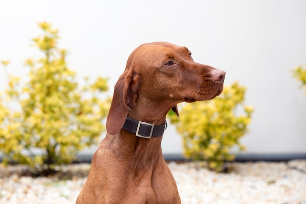 Венгерская короткошерстная собака