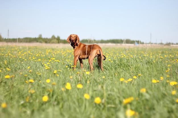 散歩のためのハンガリーのビズラ犬
