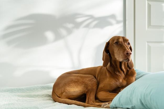 Венгерская вызла собака, лежащая на диване у себя дома, тень листьев монстеры на белой стене портрет питомца