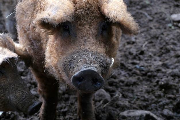 두꺼운 곱슬 머리를 가진 돼지 mangalitza의 헝가리 멧돼지 품종