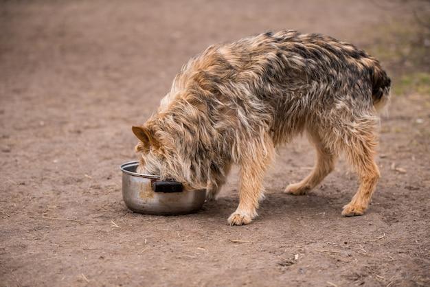 Голодная деревенская собака ест еду из железной сковороды
