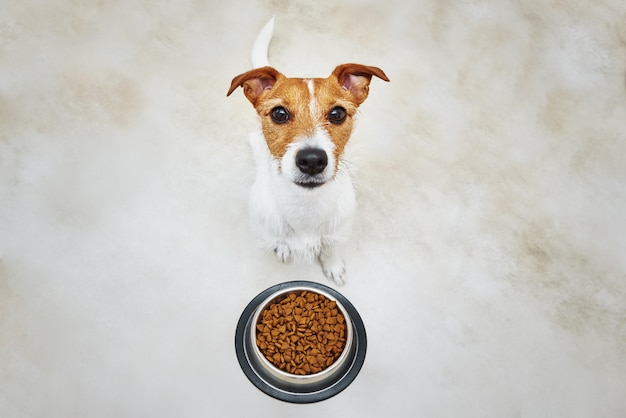 Hungry dog looking at camera near food bowl with dry feed pet feeding