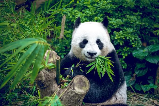 竹を食べる空腹のジャイアントパンダのクマ