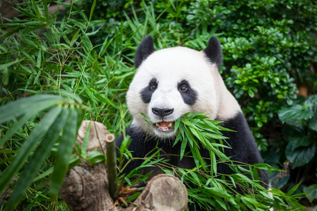 Hungry giant panda in green jungle forest