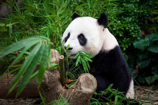 Hungry giant panda