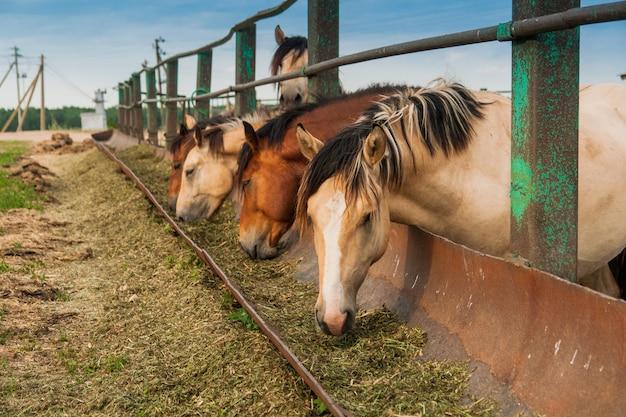 Голодные лошади в загоне