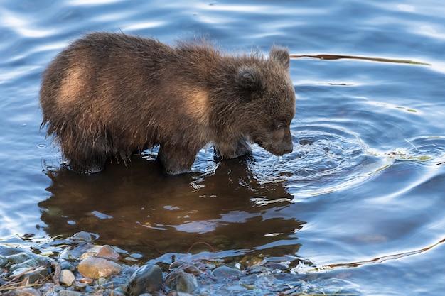 배고픈 캄차카 불곰 새끼는 강에서 낚시를 하고 산란하는 동안 붉은 연어 물고기를 찾아 물을 찾고 있습니다. 자연 서식지에 있는 동물. 아시아, 러시아 연방, 극동, 캄차카 반도