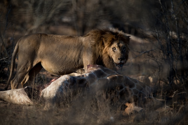Голодный лев-самец с мертвым жирафом на размытом фоне
