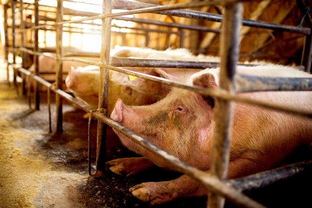 空腹の豚が食べ物を待っています。