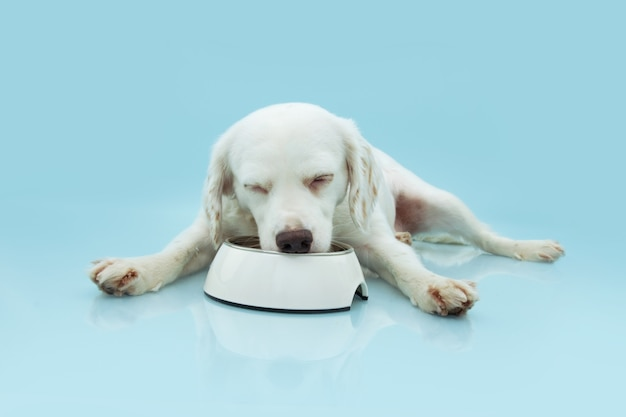 Hungry puppy dog eating food in a white bowl on blue