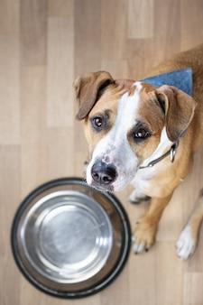 Голодный щенок сидит на полу возле пустой миски с едой и ждет еды. симпатичная собака стаффордширского терьера смотрит вверх и просит угощения