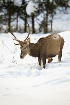 Hungry red deer stag looking for food in deep snow