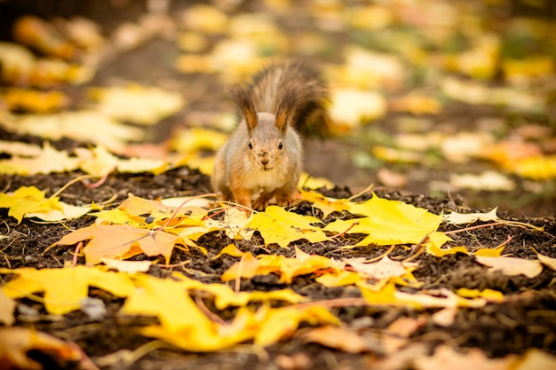 秋のシーンで栗を食べる空腹のリス。リス、落ち葉で黄色の公園の秋の肖像画