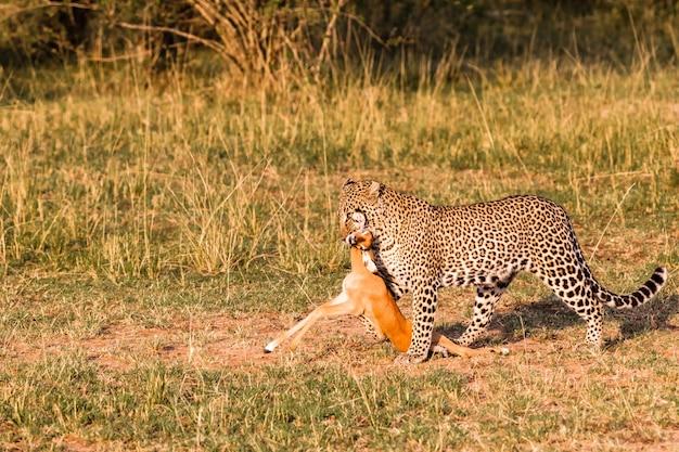 Охотники саванны. леопард. кения, африка