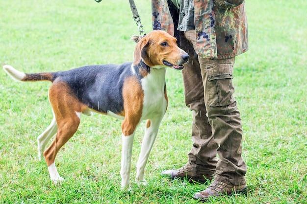 Охотничья собака породы эстонская гончая на прогулке со своим хозяином во время дождя