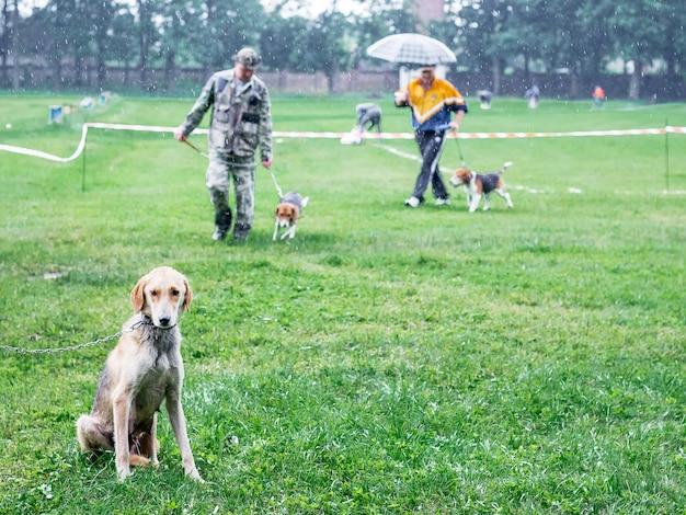 Охотничья собака породы английская гончая сидит на траве. выгул собак