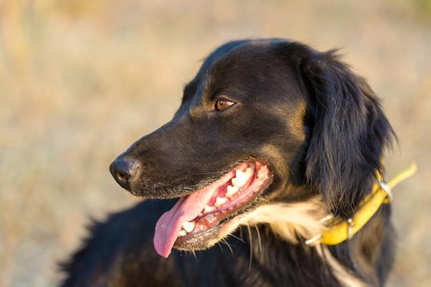 狩猟犬スパニエルの肖像画