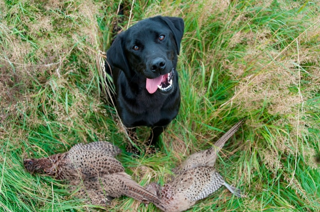 A hunting dog with two dead pheasants on the ground