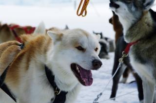 Huskies, holiday