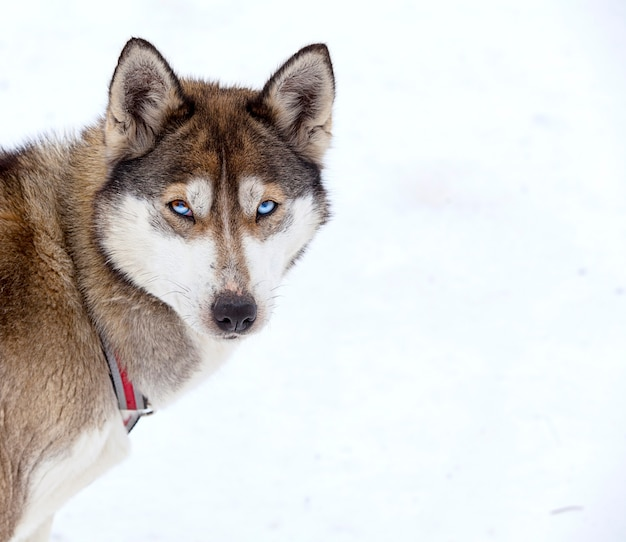 Хаски в питомнике для собак зимой