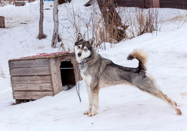 겨울에 개를위한 보육원의 허스키