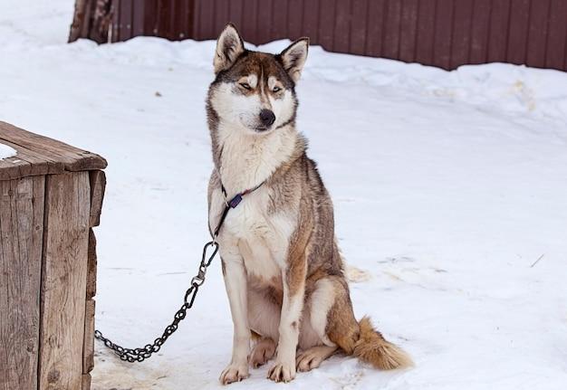 Huskies in nursery for dogs in the winter