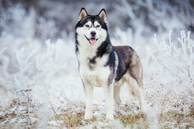 Husky dog black and white color stands in the field in the winter