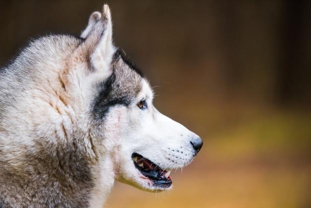 ハスキー犬は自然に銃口の横顔の肖像画を閉じる