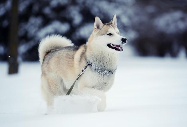 雪の中のハスキー犬