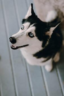 허스키 개 측면을 찾고. 개의 불쌍한 표정. 행복한 허스키 개. 개가 집에 있어요.