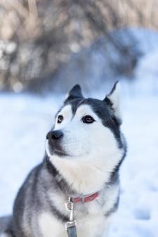Хаски собака лежит в снегу
