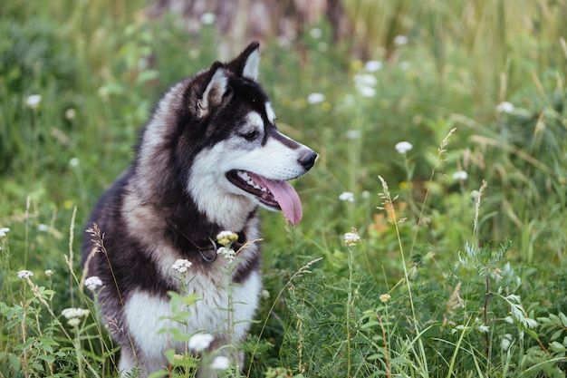 Husky dog on a meadow in lush green grass looking into the distance with his tongue sticking out.