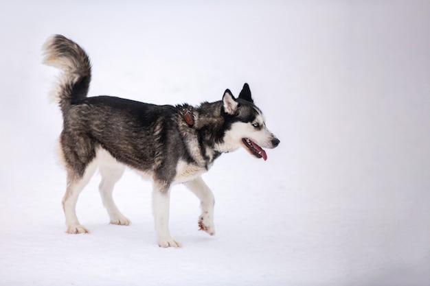 Хаски открытый, зимний фон. забавный питомец на прогулке перед гонками на собачьих упряжках.