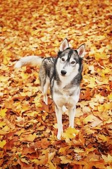 Husky dog in the park in autumn, dog for the calendar