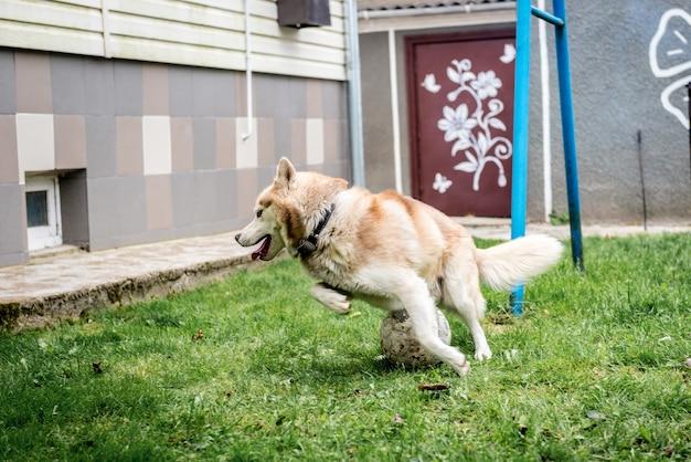 サッカーボールで緑の芝生で遊ぶハスキー犬。