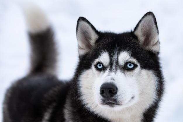 허스키 강아지 초상화, 겨울 눈 덮인 배경. 썰매 개 훈련 전에 걷기에 재미있는 애완 동물.