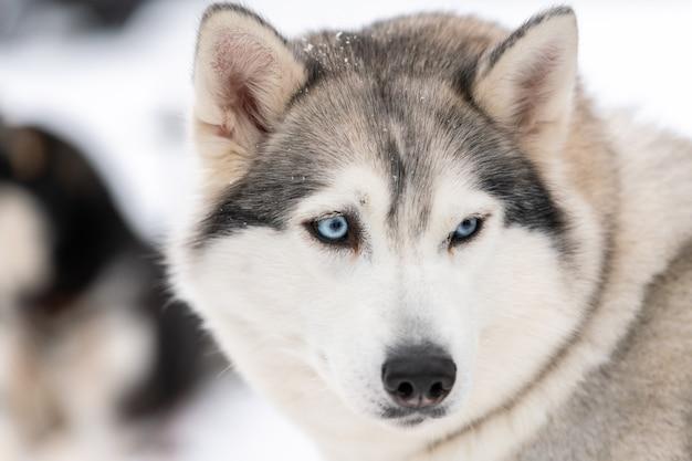 Хаски портрет собаки, зимний снежный фон