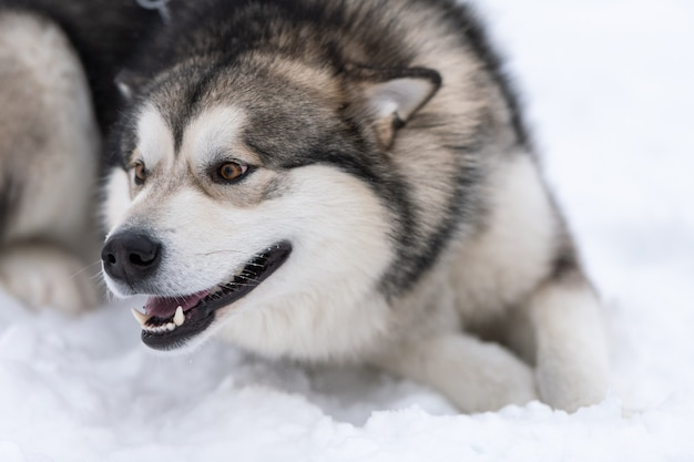 Husky dog portrait, winter snowy . funny pet on walking before sled dog training.