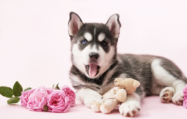 Husky dog puppy and pink tea roses. copy space. greeting card